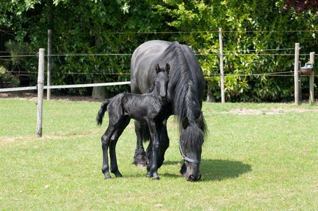 Friesian Horse Pictures Friesian Horse Breeding 04